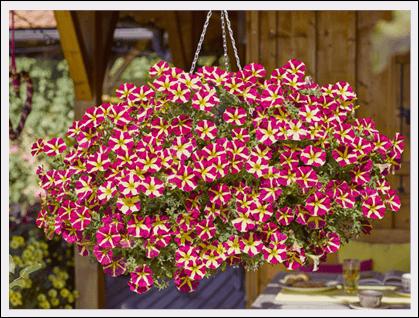 AMORE™ Petunia goes live.
