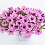 petunia-capella-pink-lace