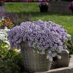 Lobularia - Lavender STREAM