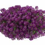 lobularia-purple-stream