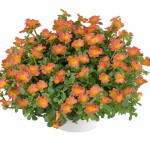 portulaca-pazzaz-nano-orange