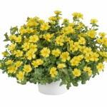 portulaca-pazzaz-nano-yellow