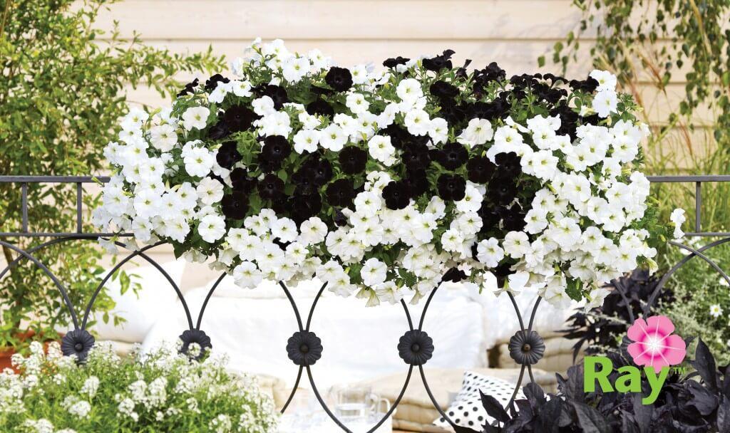Black Ray Petunia Hybrida Premium Quality Annuals Danziger