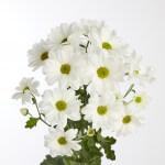 chrysanthemum-modi
