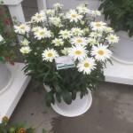 Leucanthemum-LUCILLE Grace