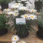 Leucanthemum-LUCILLE White