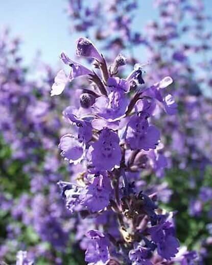 Ageratum- Aguilera Purple