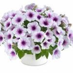 petunia-capella-purple-vein