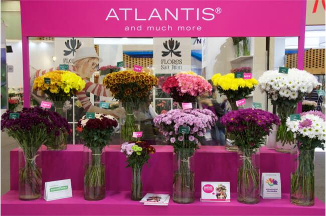 Chrysanthemum booth-PROFLORA