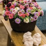 Scabiosa- SCOOP® from catalog