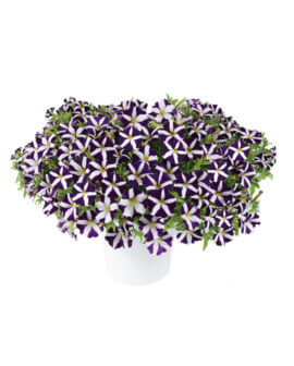 purple-landing