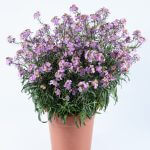 Erysmimum Sunstrong™Bicolor Purple