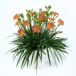 Hemerocallis-Endleslily® coral