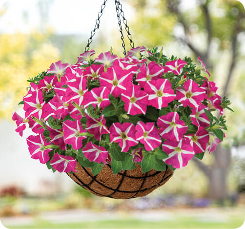 AMORE Petunia for hanging baskets