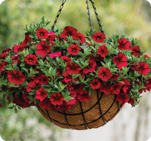 LIA Calibrachoa for hanging baskets