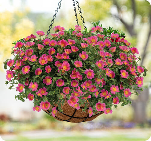 PAZZAZ Portulaca for hanging basket