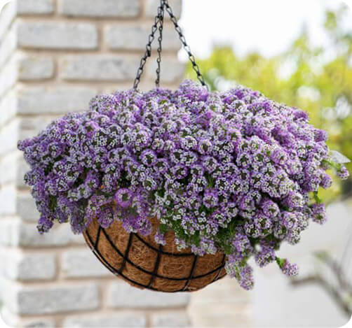 STREAM Lobularia for hanging baskets