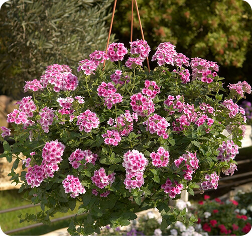 VANESSA Verbena for hanging baskets