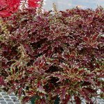 TERRA NOVA® 'Burgundy Filigree'