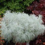 Artemisia MAKANA™ Silver