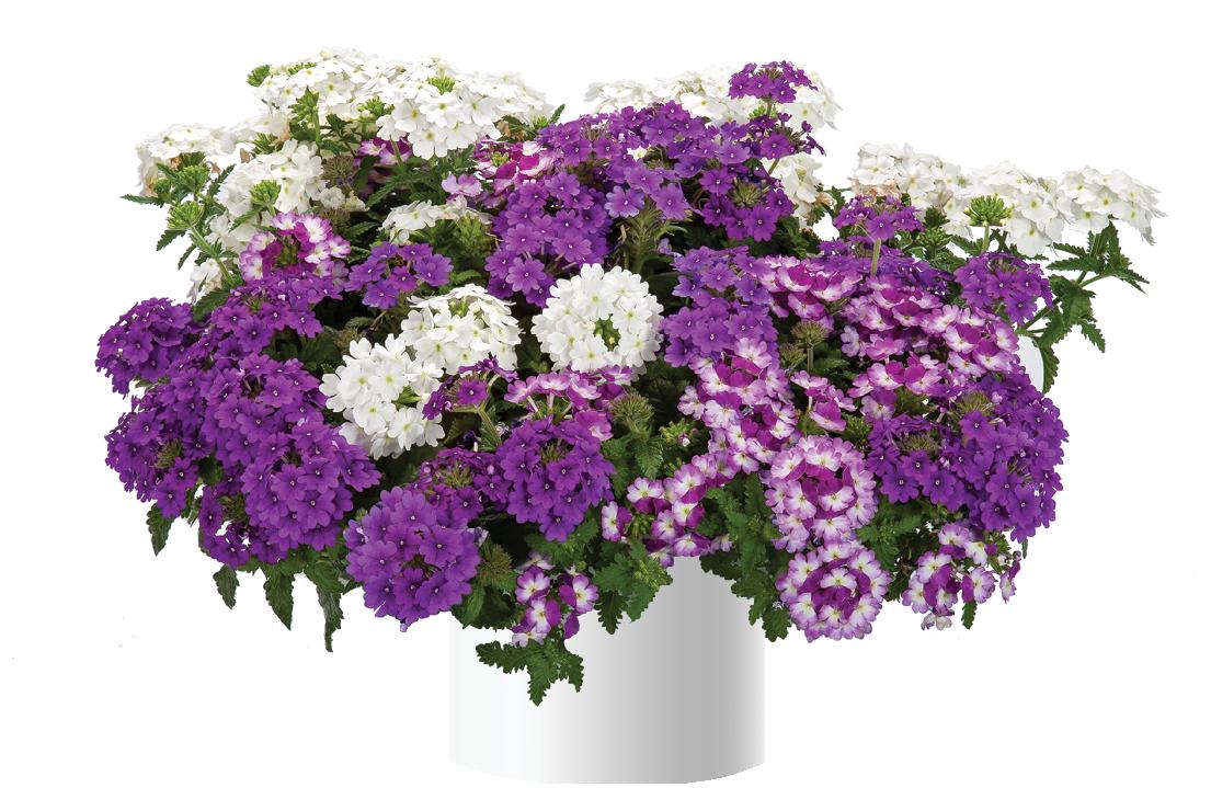 Perfectly Purple™